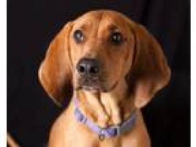 Adopt BELLA a Hound, Mixed Breed