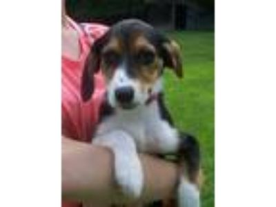 Adopt LIBBY...GORGEOUS PUPPY a Beagle