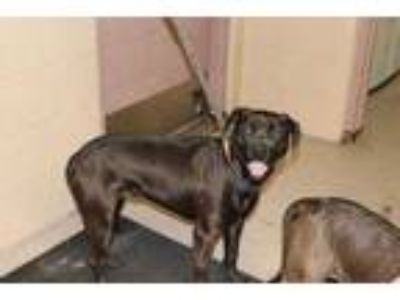 Adopt Mystique a Brown/Chocolate American Pit Bull Terrier / Mixed dog in