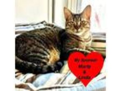 Adopt Iris a Brown or Chocolate Domestic Shorthair (short coat) cat in San Leon