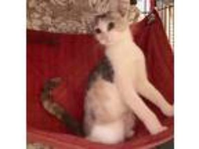 Adopt Foster for Nina Shy Sweet Young Pastel Calico Cat a Calico, Dilute Calico