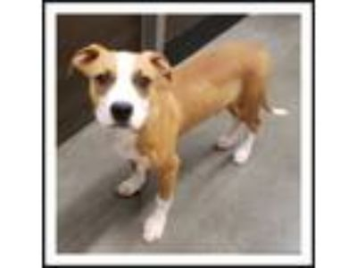 Adopt TROY a Red/Golden/Orange/Chestnut - with White Pit Bull Terrier / Mixed