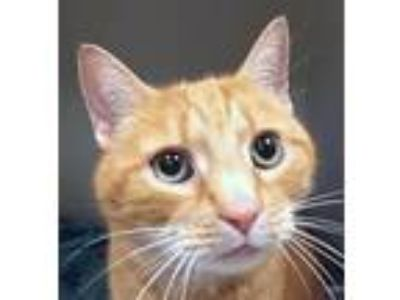 Adopt Horton a Domestic Short Hair