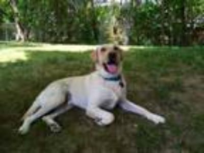 Adopt Boone #2 a Yellow Labrador Retriever
