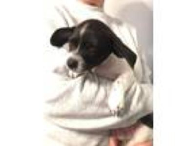 Adopt Sammy a White - with Black Terrier (Unknown Type, Small) / Mixed dog in
