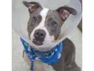 Adopt Shay a Gray/Blue/Silver/Salt & Pepper American Staffordshire Terrier /