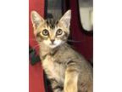 Adopt Rexlie a Abyssinian, Domestic Short Hair