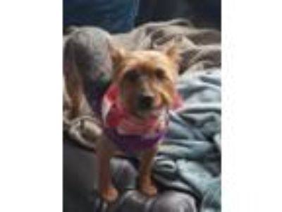 Adopt Riley a Yorkshire Terrier