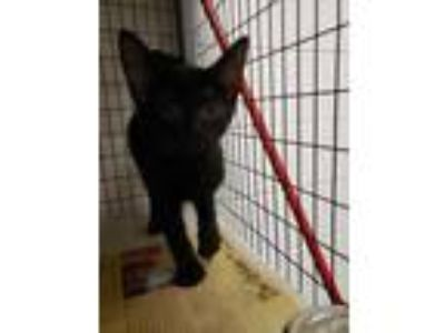 Adopt Samsquanch a All Black Domestic Shorthair / Domestic Shorthair / Mixed cat