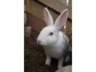 Adopt Arctic (Bonded to Winter) a White New Zealand / Mixed (short coat) rabbit