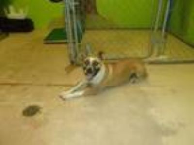 Adopt FRANKIE a German Shepherd Dog, Boxer