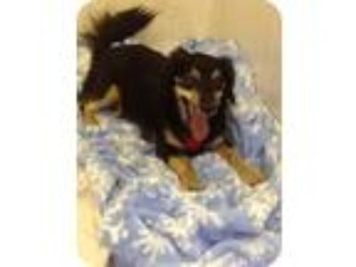 Adopt Shylo a Brown/Chocolate - with Black Dachshund / Mixed dog in Fort Pierce