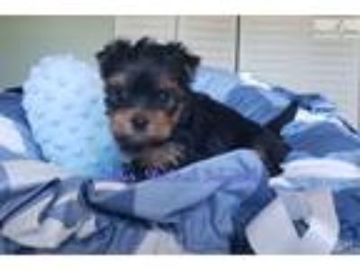 Keanu..Champion Bloodline Yorkshire Terrier