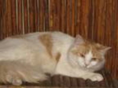 Adopt Whitman a Orange or Red (Mostly) Domestic Shorthair / Mixed (short coat)