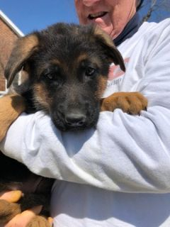German Shepherd Dog PUPPY FOR SALE ADN-73313 - Puppies from Son of World Champion Sieger