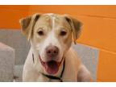 Adopt Kirby a Retriever, Pit Bull Terrier