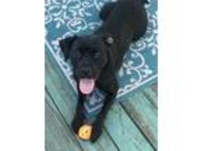 Adopt Macy a Black - with White Labrador Retriever / American Pit Bull Terrier