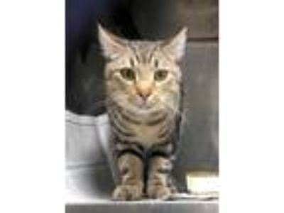 Adopt Cooper a Tabby, Tiger