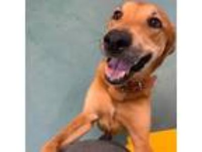 Adopt Rose Lavelle a Brown/Chocolate Golden Retriever dog in New York