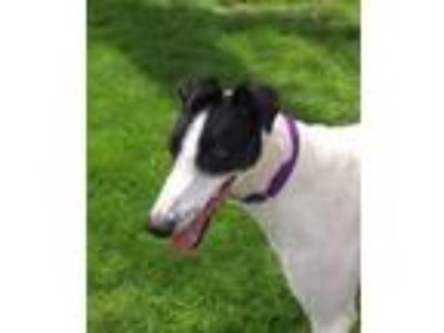 Adopt Bandit a White - with Black Greyhound / Mixed dog in Livonia