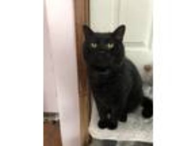 Adopt Olaf a All Black Domestic Shorthair (short coat) cat in East Stroudsburg