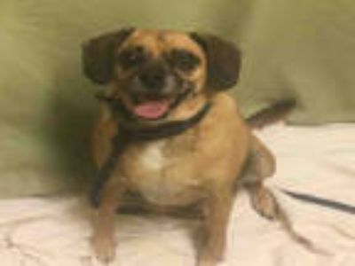 Adopt *DOUG a Tan/Yellow/Fawn - with Black Pug / Beagle / Mixed dog in Upper