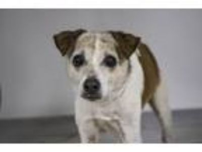 Adopt JENIKINS a Parson Russell Terrier, Mixed Breed