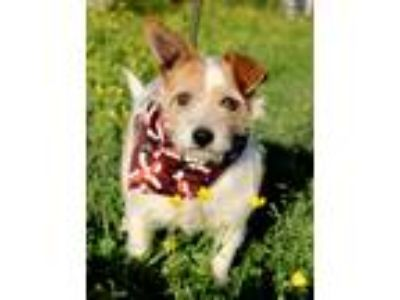Adopt Oreo a Tricolor (Tan/Brown & Black & White) Fox Terrier (Wirehaired) /