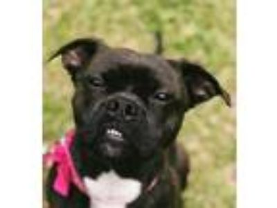 Adopt Bugg a Boston Terrier, Pug