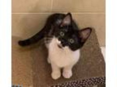 Adopt Mabel a Domestic Short Hair, Tuxedo