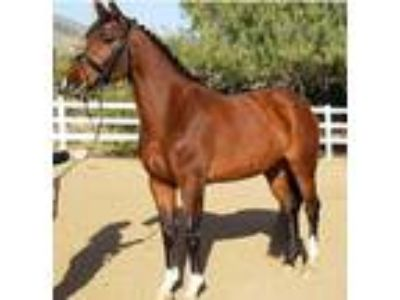Beautiful 162 Holsteiner mare