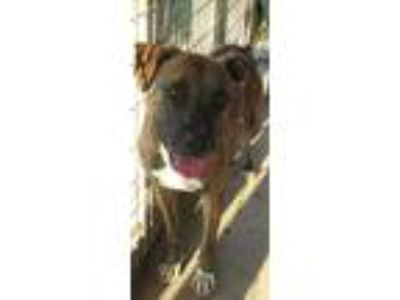 Adopt June JuM a Brindle - with White Labrador Retriever / Plott Hound / Mixed