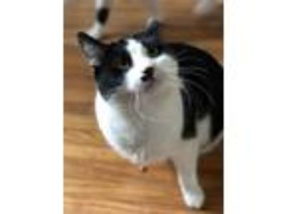 Adopt Buttons a Black & White or Tuxedo Domestic Shorthair (short coat) cat in