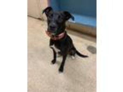 Adopt Brisket a Black Shepherd (Unknown Type) / Mixed dog in Cincinnati