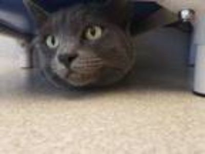 Adopt Emillee a Gray or Blue Domestic Shorthair / Domestic Shorthair / Mixed cat