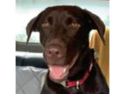 Adopt KELLIE a Labrador Retriever