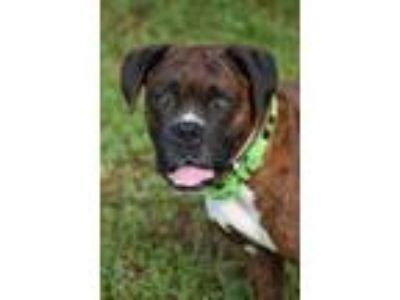 Adopt Chief a Boxer