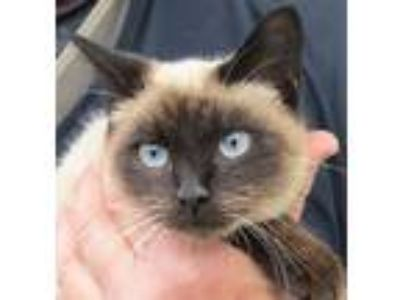 Adopt Macy a Brown or Chocolate (Mostly) Siamese (medium coat) cat in