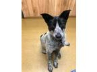 Adopt Kay a Australian Cattle Dog / Blue Heeler