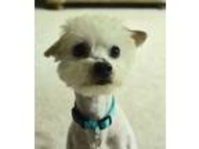 Adopt Alex a White Poodle (Standard) dog in Moorestown, NJ (25279690)