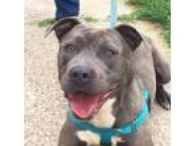 Adopt Squeaker a Pit Bull Terrier, American Staffordshire Terrier
