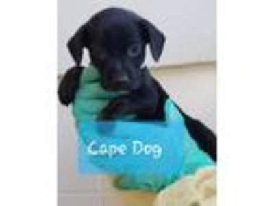 Adopt Cape Dog a Black Boston Terrier dog in MCLEAN, VA (25941937)