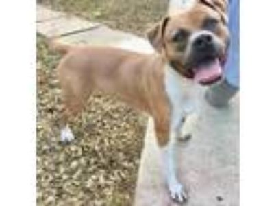 Adopt Ozzy a Red/Golden/Orange/Chestnut Boxer dog in San Antonio, TX (25363134)