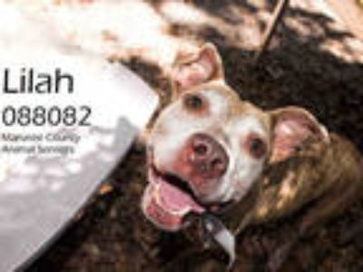 Adopt LILAH a Brindle American Pit Bull Terrier / Mixed dog in Palmetto
