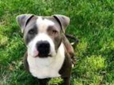 Adopt HUCK a Gray/Silver/Salt & Pepper - with White American Pit Bull Terrier /