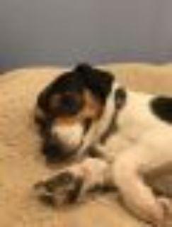 Jeff Beck Terrier - Hound Dog