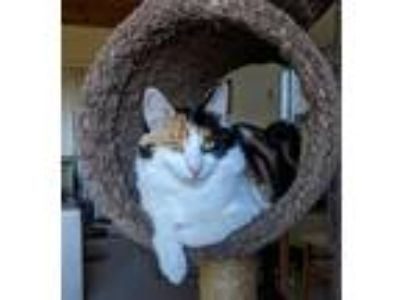 Adopt Misty a Calico or Dilute Calico Calico / Mixed (short coat) cat in Walnut