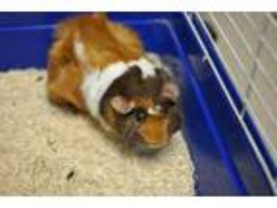 Adopt Bubbles a Brown or Chocolate Guinea Pig / Guinea Pig / Mixed small animal
