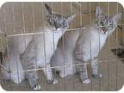 Adopt Ben & Jerry a Cream or Ivory (Mostly) Siamese / Mixed (short coat) cat in