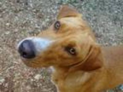 Adopt Avalon a Tan/Yellow/Fawn Hound (Unknown Type) / Mixed dog in Athens